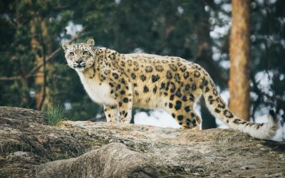 Snow Leopard DNA linked to a colour response on paper