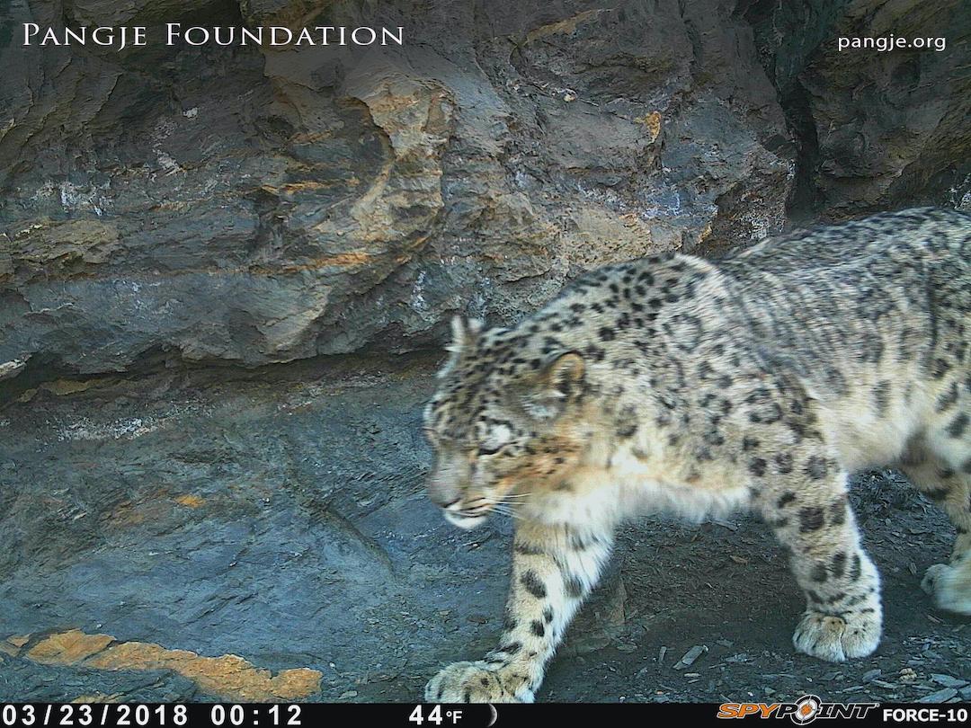 Snow leopard sighting